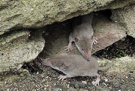 Hausspitzmaus (Crocidura russula)