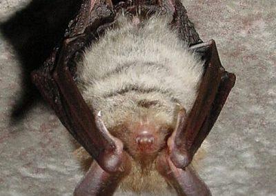 Bechsteinfledermaus (Myotis bechsteinii)