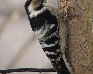 Kleinspecht (Dryobates minor)