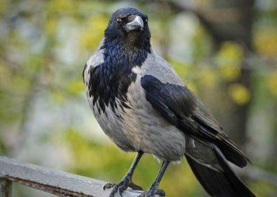 Aaskrähe (Corvus corone/ Corvus cornix)