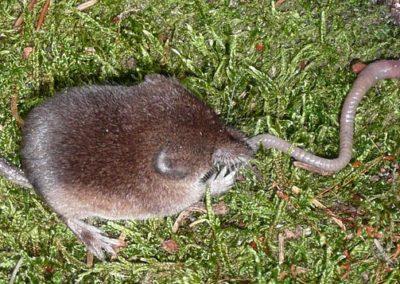 Waldspitzmaus (Sorex araneus)