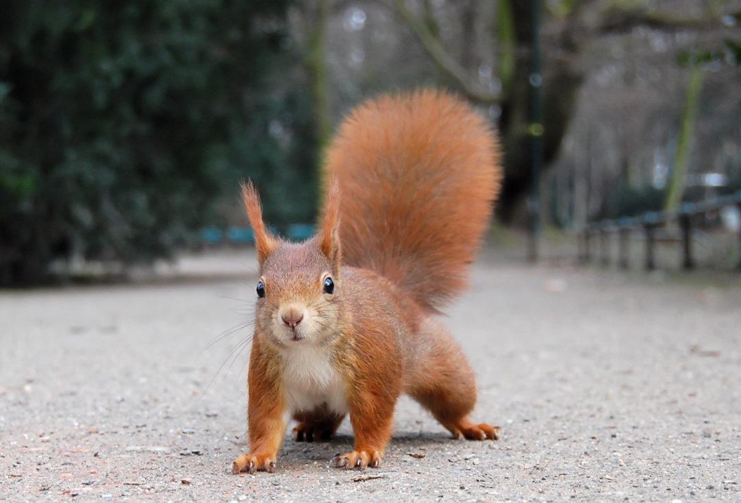 Eurasisches Eichhörnchen (Sciurus vulgaris)