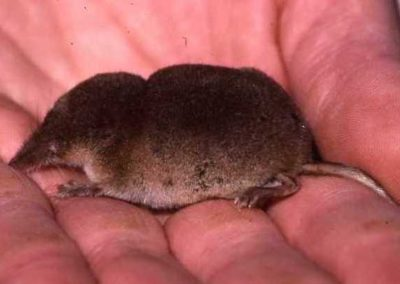 Schabrackenspitzmaus (Sorex coronatus)